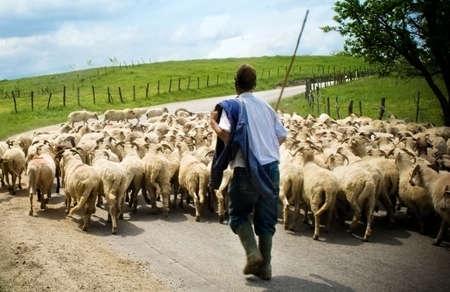 pastor de ovejas: Pastor con sus ovejas en caminos rurales