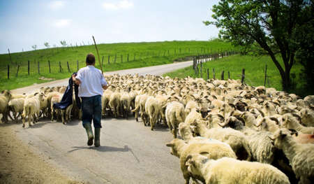 Traditional farming - shepherd with his sheep herd Stock Photo