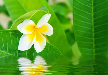 White flower and green leaves reflecting in water Stock Photo