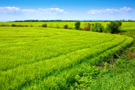 Landscape - Field of green fresh grain and beautiful blue sky Stock Photo - 4880616