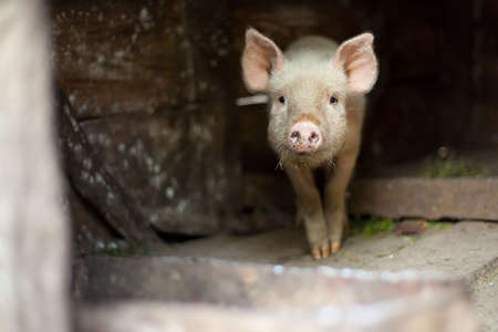 sty: One little scared piglet at farm