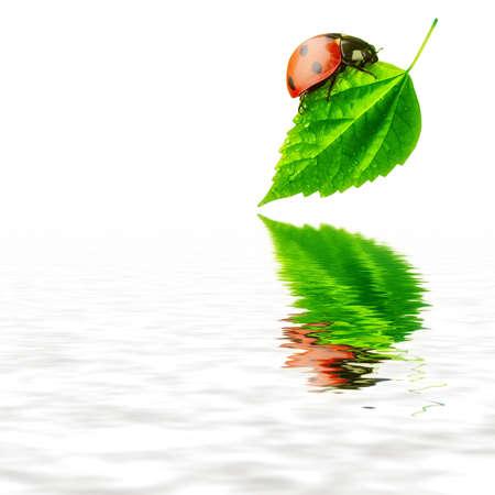 Pure nature concept - ladybug leaf and water Foto de archivo