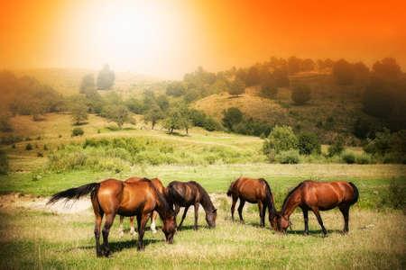Wilde Pferde auf grünen Wiese und sonnigen orangen Himmel