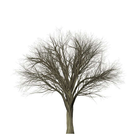 tree isolated: Leafless tree isolated on white background