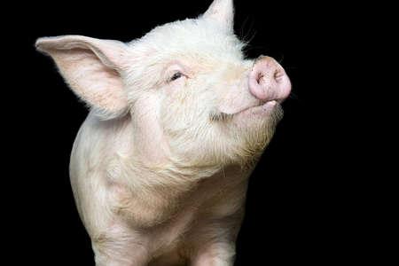 Porträt einer niedlichen Schwein, auf schwarzem Hintergrund