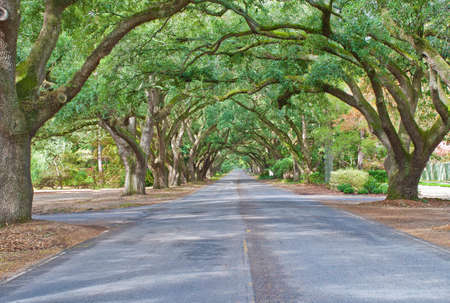 A living archway of oaks lines South Boundary Drive in Aiken, South Carolina. Stock Photo