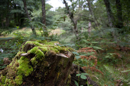 A mossy trunk in the forest in Galicia