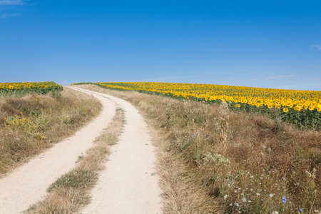 A road go among the fileds of sunflowers Stock Photo