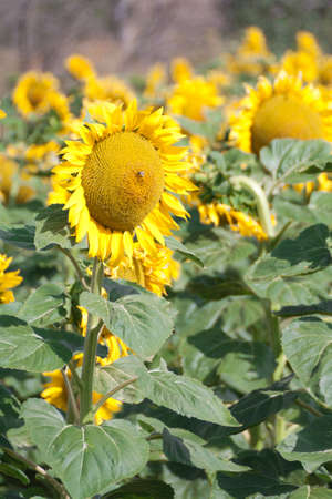 A sunflower field during summer in Segovia, Spain Stock Photo - 14606802