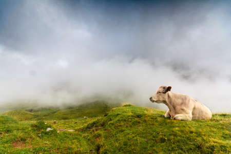 A cow is resting in spanish Pyrenees, with the fog coming at the background photo
