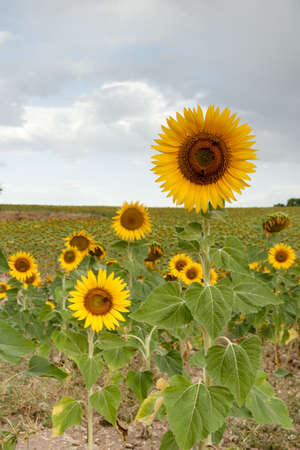 A sunflower field during summer in Segovia, Spain Stock Photo - 14948804