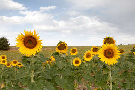 A sunflower field during summer in Segovia, Spain Stock Photo - 14948812