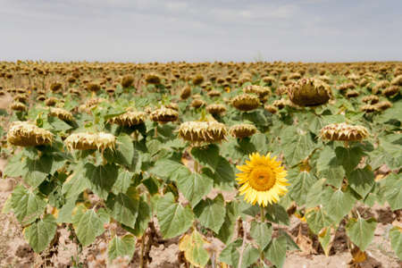 Only one sunflower doesn't hang its head. Sunflowers field in Segovia, Spain Stock Photo - 14948829