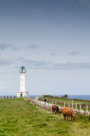 Cows near the lighthouse in Lastres, Asturias  Spain  photo