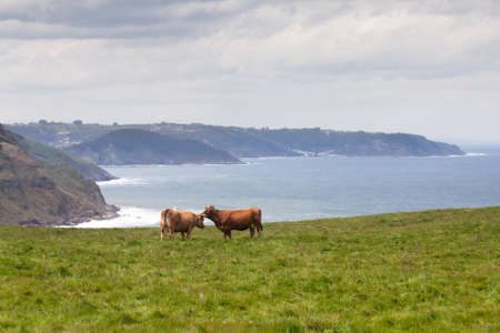 Two cows grazing on pasture in the hills near sea coast in Asturias  Spain  photo