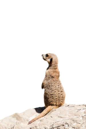 Portrait of a meerkat  or Suricate  on white background