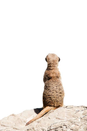 Portrait of a meerkat  or Suricate  on white background photo