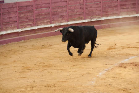 Fighting bull in the bullring photo