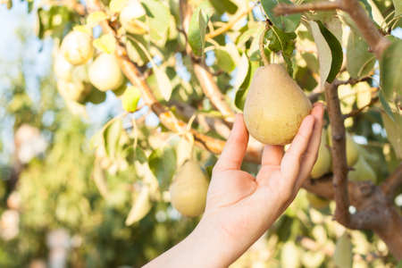 Woman harvesting pears on a tree branch in orchard Stock Photo