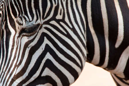 Close-up of the head of a Zebra Stock Photo