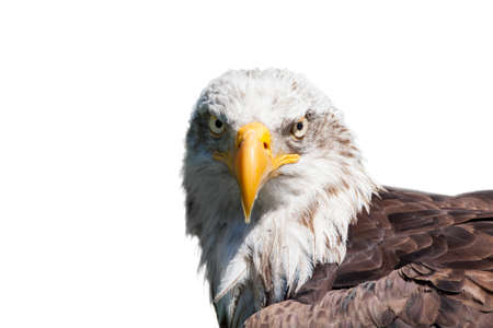 Portrait of a bald eagle  haliaeetus leucocephalus  isolated on white background photo