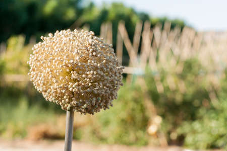 Tow flowers of onion in garden Stock Photo