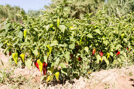 Green and red peppers in the garden Stock Photo