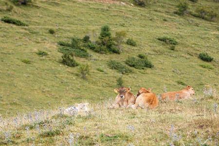 Calves resting in spanish Pyrenees