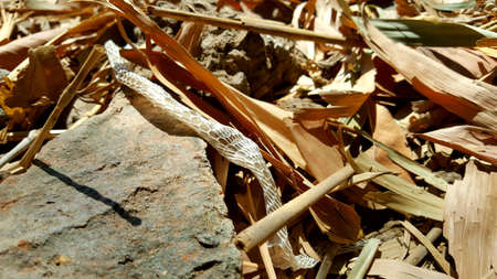 Shedding snake skin, a long process to maintain life