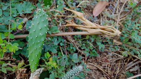 View of Opuntia galapageia cactus with green fleshy stem and white needles, growing in the garden. Succulent plant. Фото со стока