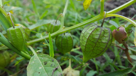 Physalis Angulata,aka ciplukan, one of the wild plants that is effective in treating various diseases in herbal medicine