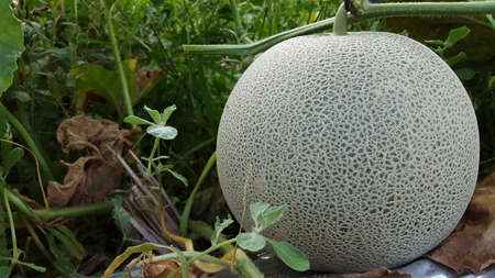Cucumis melo called melons on a plantation that is entering the harvest season, one of agribusiness with fantastic economic value 版權商用圖片