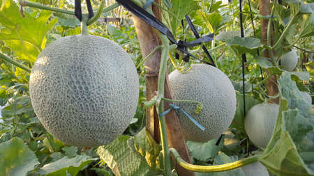 Cucumis melo called melons on a plantation that is entering the harvest season, one of agribusiness with fantastic economic value 版權商用圖片 - 131471988