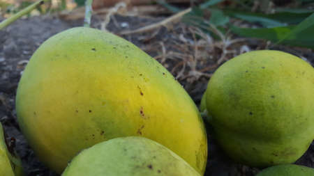 Mango ripe in the harvest season. Mango is one of the branches of agriculture with good business value