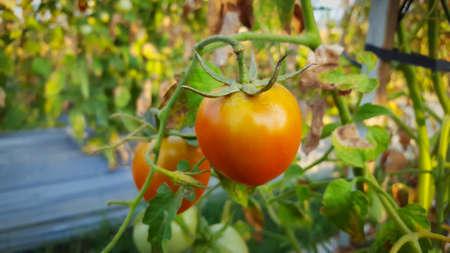 Fresh organic tomatos ripening in the garden on a sunny summer day Stockfoto