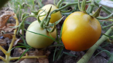 Fresh organic tomatos ripening in the garden on a sunny summer day Stock fotó