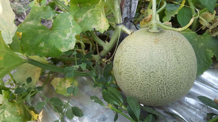 Cucumis melo called melons on a plantation that is entering the harvest season, one of agribusiness with fantastic economic value 版權商用圖片 - 131472125
