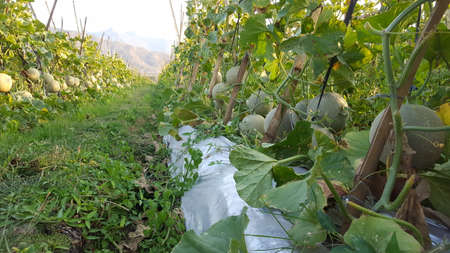 Cucumis melo called melons on a plantation that is entering the harvest season, one of agribusiness with fantastic economic value 版權商用圖片 - 131472124