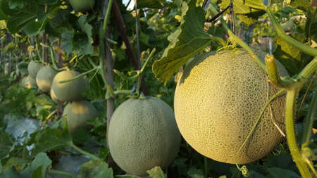 Cucumis melo called melons on a plantation that is entering the harvest season, one of agribusiness with fantastic economic value 版權商用圖片 - 131472308