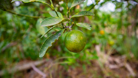 Citrus aurantiifolia, a plant that is spread in Southeast Asia with a sour taste as a spice for cooking