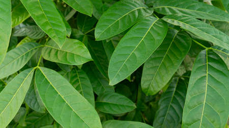 Green foliage that thrives in the rainy season, the picture is suitable to be used as a background image, wallpaper, educational material and graphic resources