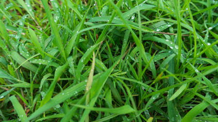 Dew drops on the green grass in the morning, the picture is suitable to be used as a background image, wallpaper, and graphic resource