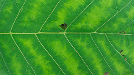 Teak leaf texture in macro mode, detailed picture of each side of a leaf stroke, suitable for use as wallpaper, background or educational material