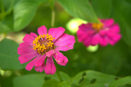 Common zinnia in the garden with natural color variations from natural formation