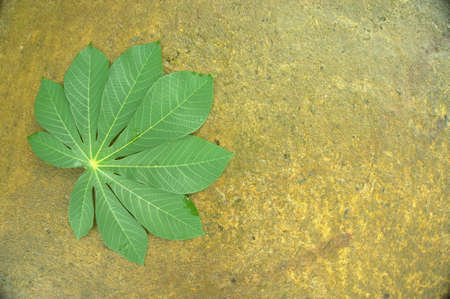 Cassava leaves , food ingredients for traditional coocking javanese people. This leaf contains high fiber 版權商用圖片