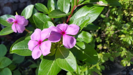 Vinca is a genus of flowering plants in the family Apocynaceae, native to Europe, northwest Africa and southwest Asia. The English name periwinkle is shared with the related genus Catharanthus 版權商用圖片