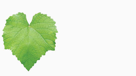 Morus alba or caller mulberry leaf in isolated mode. Image suitable for wallpaper, background, or graphic resources