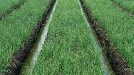 Cultivated red onion farm, one off agriculture business with good value