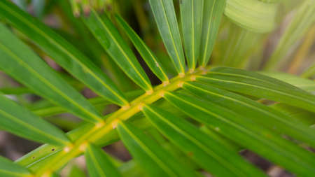 palm leaf, one of the ornamental plants that is easily planted in pots as decoration