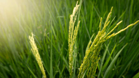 Green rice with grains that begin to fill. Plants enter harvest after 90 days of planting